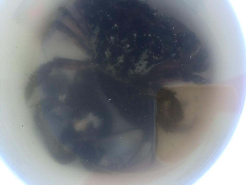 krabbor